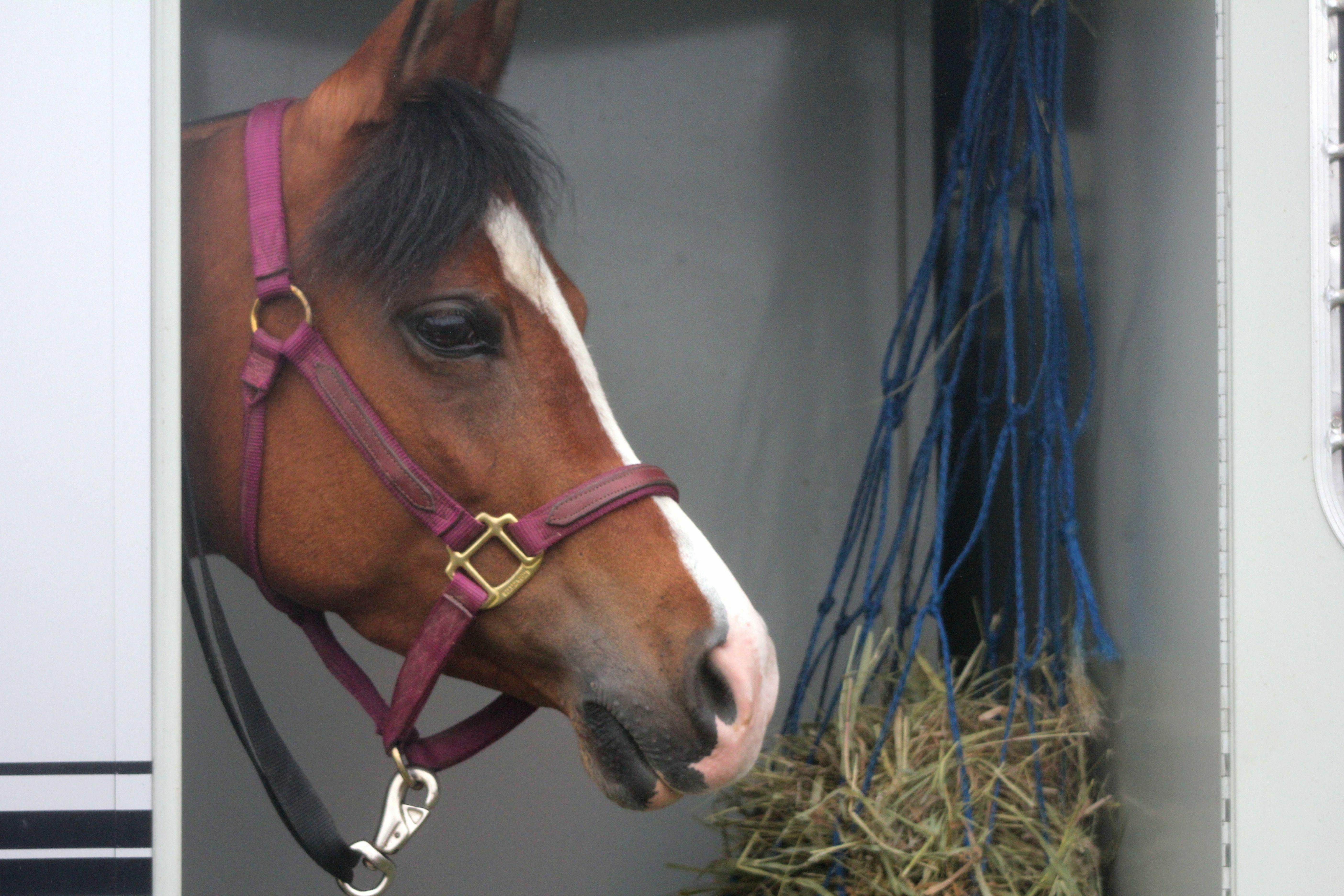 Paard in trailer op de boot VVV Texel