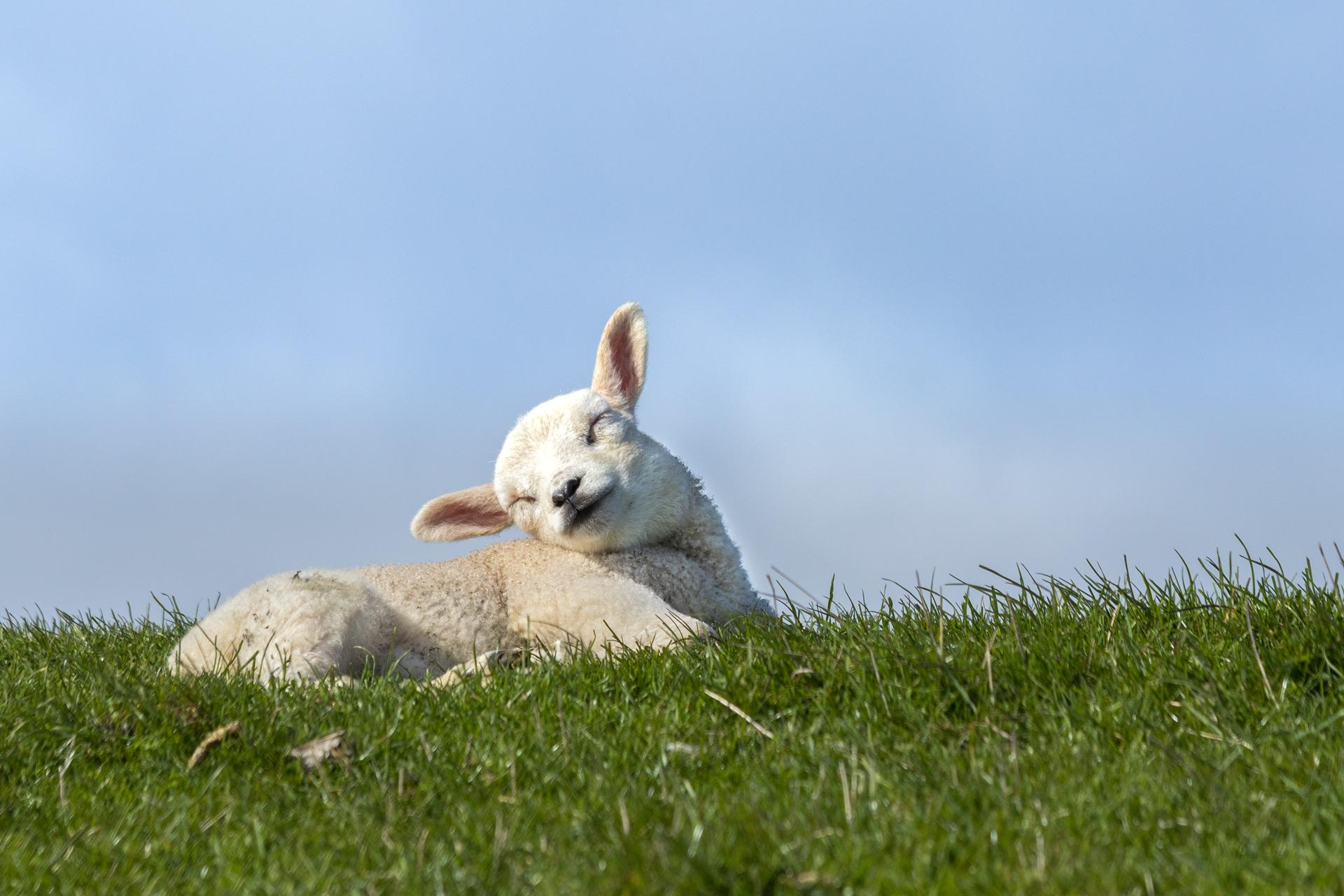 Lammetje liggend op de dijk in het gras VVV Texel fotograaf Nicole van As