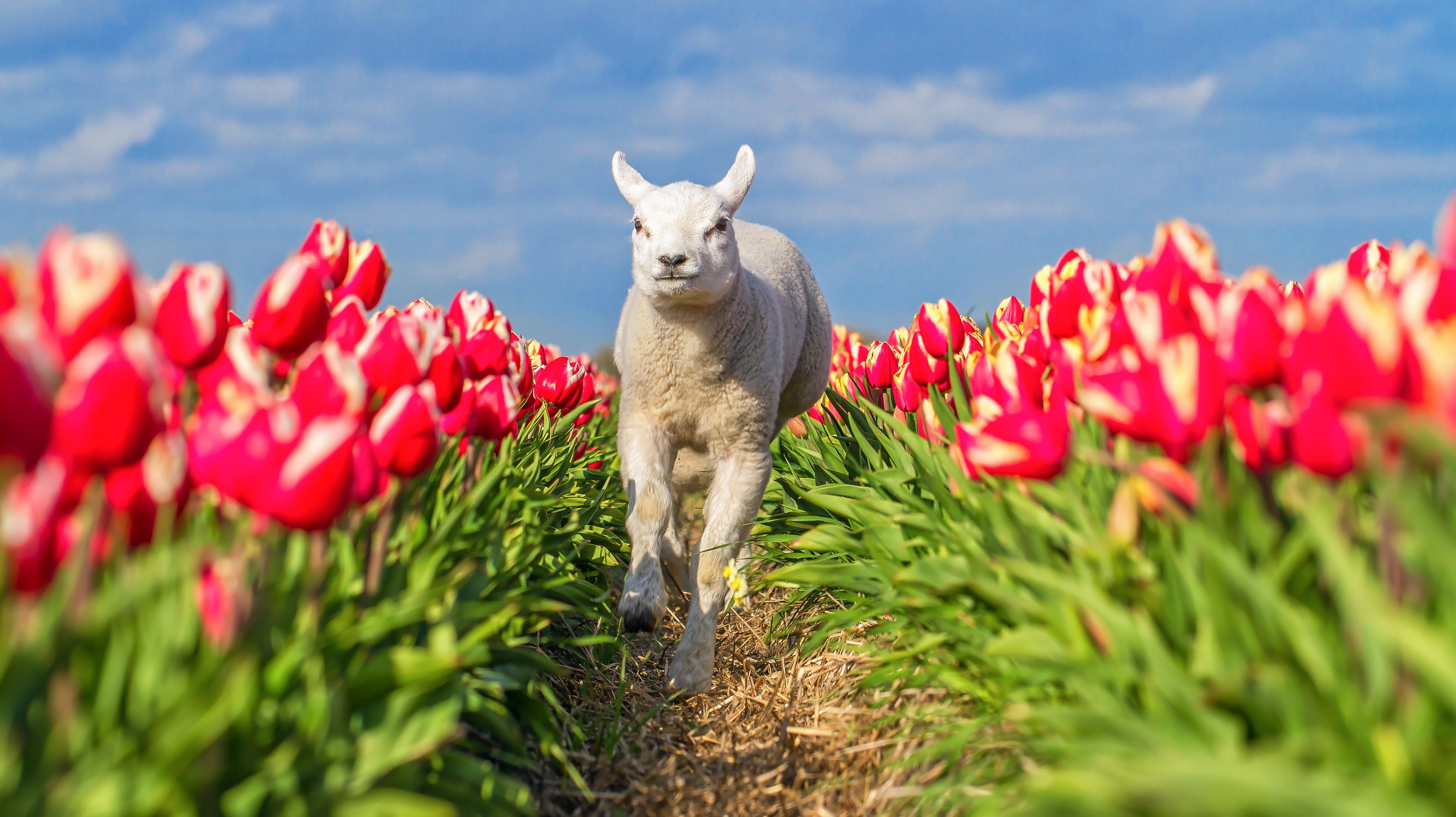Lammetje rent door tulpenveld VVV Texel fotograaf Justin Sinner