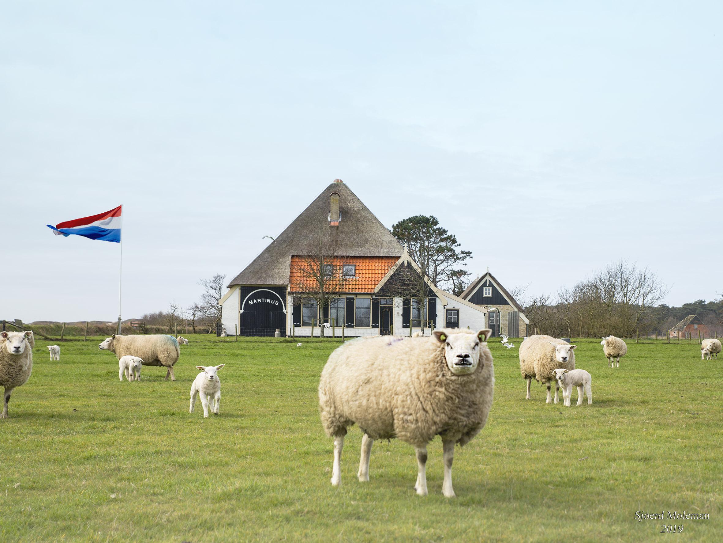 Schapen in de wei voor een stolpboerderij VVV Texel fotograaf Sjoerd Moleman