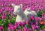 Lammetjes in een paars tulpenveld VVV Texel Fotograaf Justin Sinner