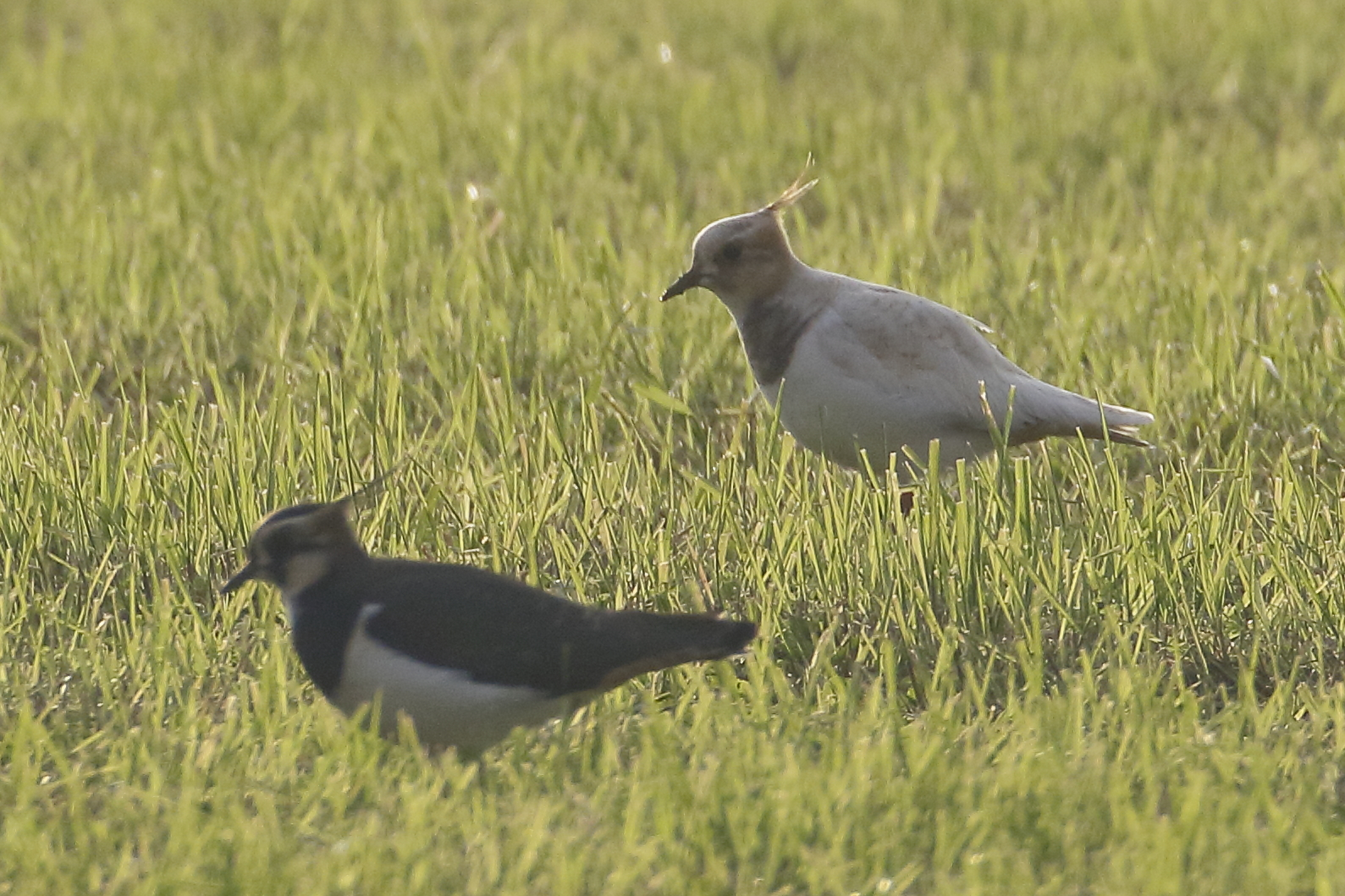 Kievit in het gras VVV Texel fotograaf Marc Plomp