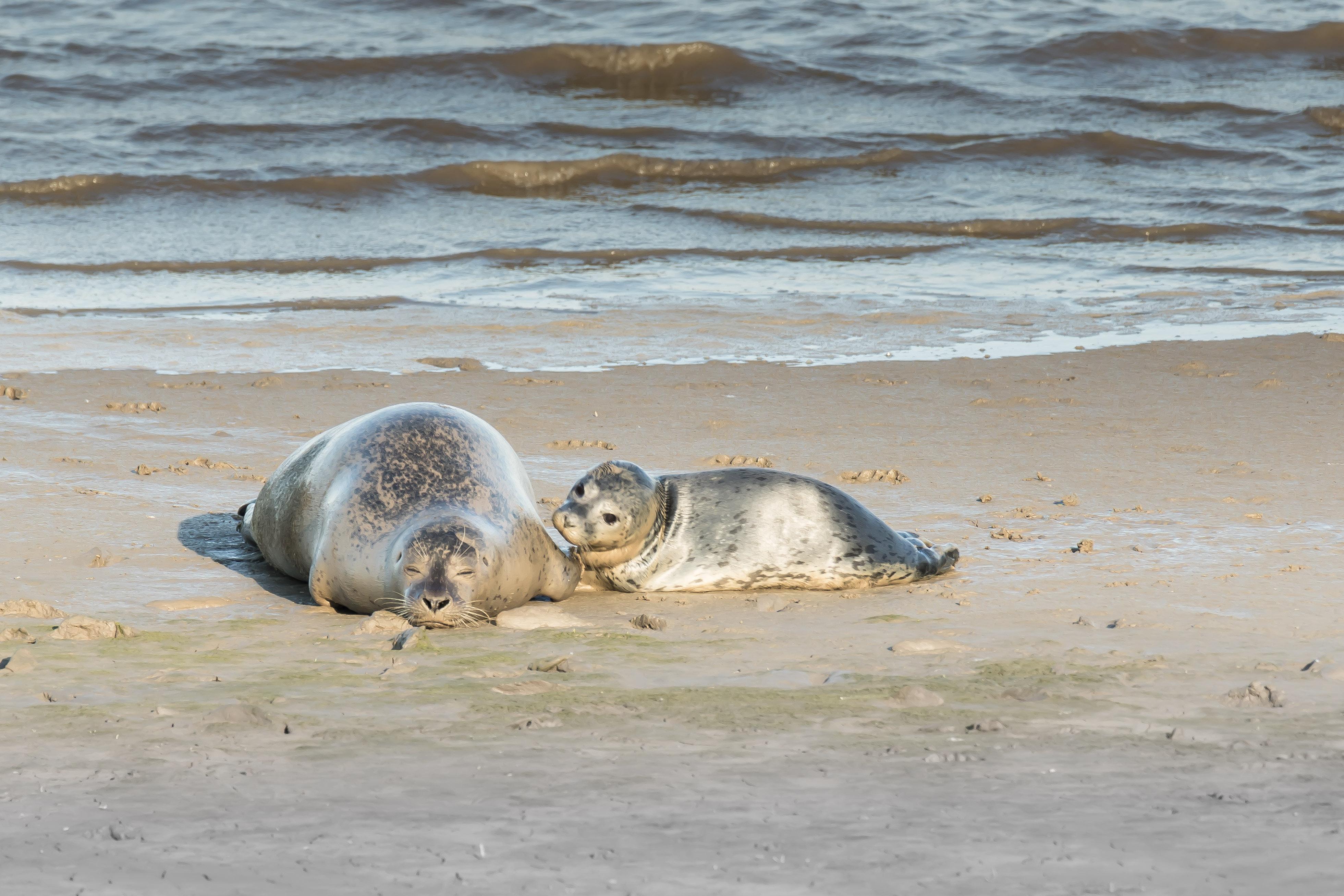 Zeehond met moeder op het strand VVV Texel fotograaf Mieke Bazuin