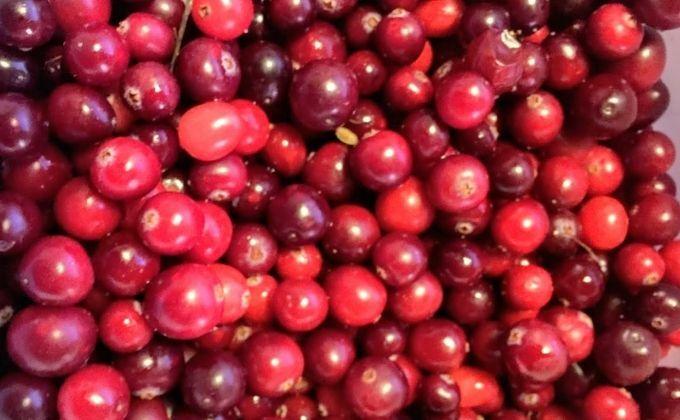 Cranberrys Landgoed de Bonte Belevenis VVV Texel fotograaf Annette van Ruitenburg
