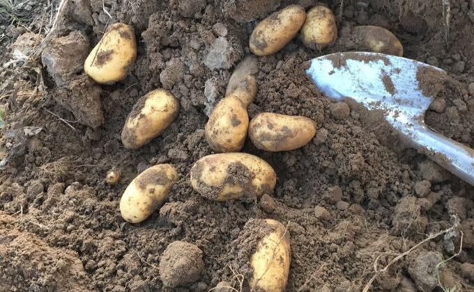 Texelse aardappels VVV Texel Fotograaf Annette van Ruitenburg